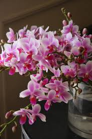 Orchid Cut Flowers - 380 best orchids phalaenopsis images on pinterest flowers