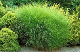 maiden landscaping with ornamental grasses cool landscaping with