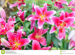 pink lily flowers in the garden stock photography image 35591162