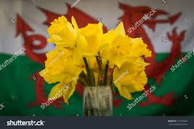 How Old Is The Welsh Flag Daffodils Front Welsh Flag 1 Stock Photo 571446766 Shutterstock