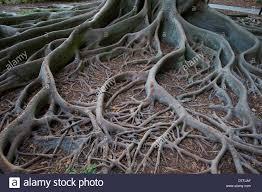 Botanical Gardens Sarasota Fl Usa Florida Sarasota Fl Selby Botanical Gardens Ficus Tree
