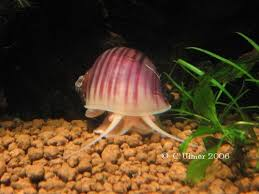 Live Plants In Community Aquariums by What To Do About Aquarium Snail Infestations Ratemyfishtank Com
