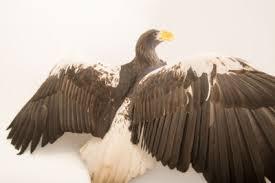 stellers sea eagle wallpapers steller u0027s sea eagle images joel sartore