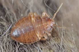 Bed Bugs In Ohio Bed Bugs In Columbus Ohio 2015 Home Beds Decoration