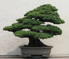 japanese white pine from the national bonsai and penjing museum at