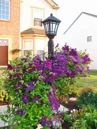 clematis trellis and to grow on pinterest learn more at bp