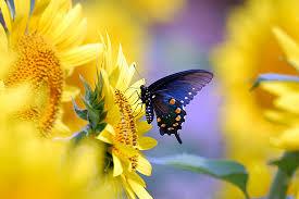 pipevine swallowtail butterfly on sunflower desktop wallpa flickr