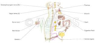 anatomy of the sympathetic and parasympathetic nervous system