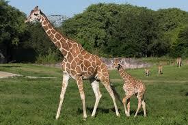 busch gardens welcomes two baby giraffes tbo com