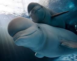 beluga whale petroglyph