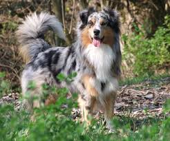 australian shepherd uses dogs and cats for adoption share your story save a life happy