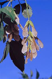 maple tree symbolism maple simple english wikipedia the free encyclopedia