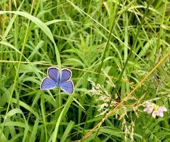 small blue butterfly in a field polianthus