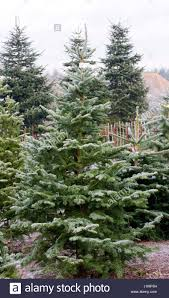 abies balsamea balsam fir the christmas tree farm hawkwell stock