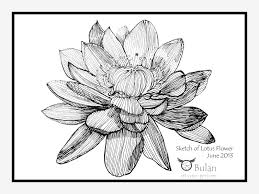 lotus flower drawing sketch clipart best drawings lily haammss