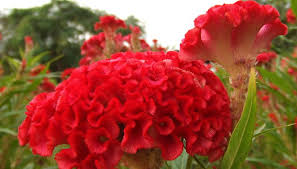 coxcomb flower how to care for cockscomb garden guides