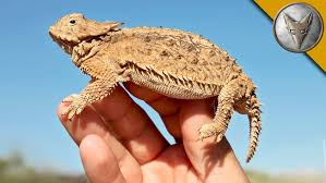 coyote peterson encounters the spiky regal horned lizard that gave