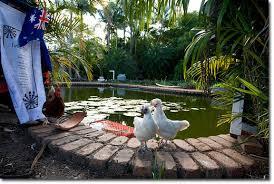 swimming pool pond chickens jpg