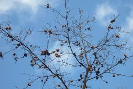 oak galls and mistletoe nature s decorations the real dirt