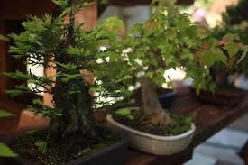 tiny trees roots the history of bonsai in the bay area