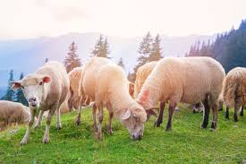 the plural of sheep and other plural questions oxfordwords blog