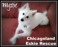 american eskimo dog rescue illinois what not to buy pet store puppies please visit your local