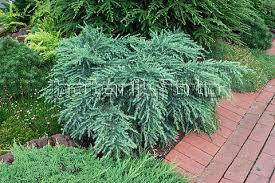 ornamental shrubs and trees weeping deodar deodar cedar