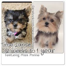 yorkie hair cut chart time lapse puppy 12 weeks to 1 year cute yorkie misa minnie youtube