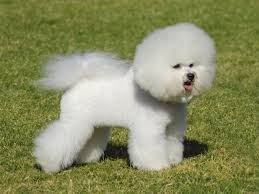 bichon frise dogs for adoption bichon frise dogs and puppies for adoption in the uk pets4homes