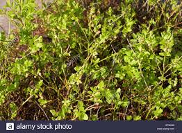 bog myrtle native flavours red vacciniaceae vaccinium myrtillus bilberry stock photo royalty