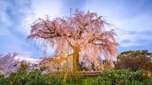 growing tips for weeping cherry how to grow them