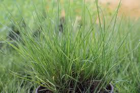 sound native plants ornamental grasses