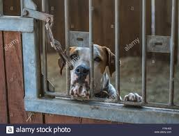 Stall Door Caged Dog Standing Up Looking Out Stall Door Stock Photo Royalty