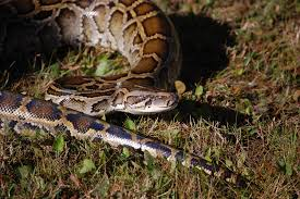 Pythons In Florida Map by Florida Employs Indian Snake Hunters To Tackle Python Problem
