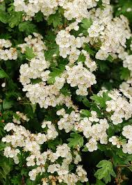 trees with white flowers 15 best trees for small gardens beautiful small trees small