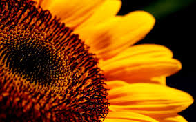 sunflower wallpapers sunflower wallpapers archives hdwallsource com hdwallsource com