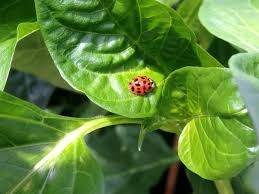 ladybugs as organic pest control homemade food junkie
