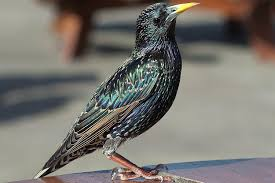 how to get rid of starlings quick tips