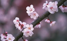 cherry tree branch widescreen wallpaper wide wallpapers
