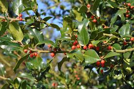 african native plants 18 species of holly trees and shrubs