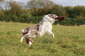 australian shepherd frisbee frisbee animal stock photos kimballstock