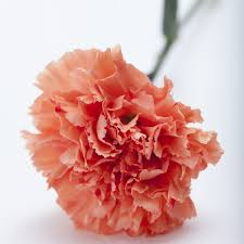 carnations flowers carnations martin s specialty store order online online cake