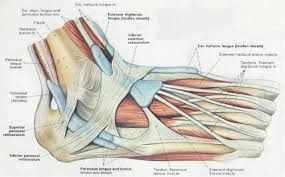 Tendons In The Shoulder Diagram What Is A Retinaculum