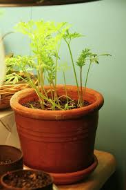 caring for potted carrots u2013 how to grow carrot plants in the home