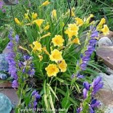 stella daylily past plants of the day forum daylily of the day stella de oro