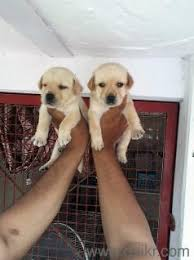 boxer dog quikr labrador pup for sale 9811335036 in aiims delhi pets on delhi