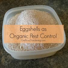 ground eggshells eggshells as organic pest killing japanese beetles
