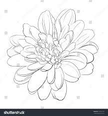 chrysanthemum flower on white background vector stock vector