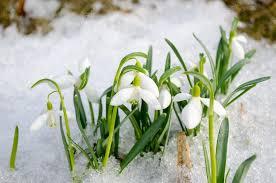 Snowflake Flower - spring snowdrop snowflake flowers blooms snow u2014 stock photo