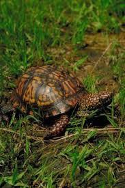 box turtle habitat u0026 nesting areas animals mom me